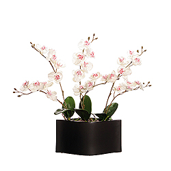 White Orchids In Black Ceramic Pot