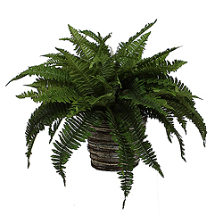 Boston Fern In Wild Wicker Basket