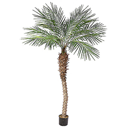 8 Foot Potted Phoenix Palm Tree
