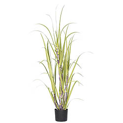 4 Foot Sugarcane Grass In A Pot