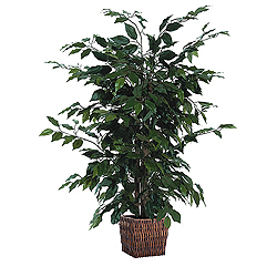 4 Foot Ficus In A Square Willow Container