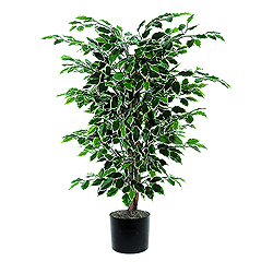4 Foot Variegated Ficus Bush