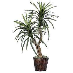 4 Foot Marginata Bush