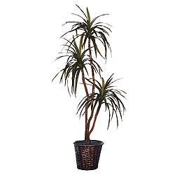 6.5 Foot Marginata Deluxe Potted Plant