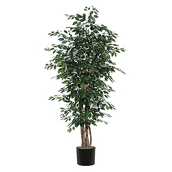 6 Foot Ficus Executive Plant