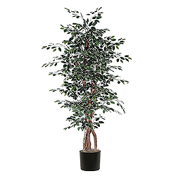 6 Foot Variegated Ficus Executive Plant